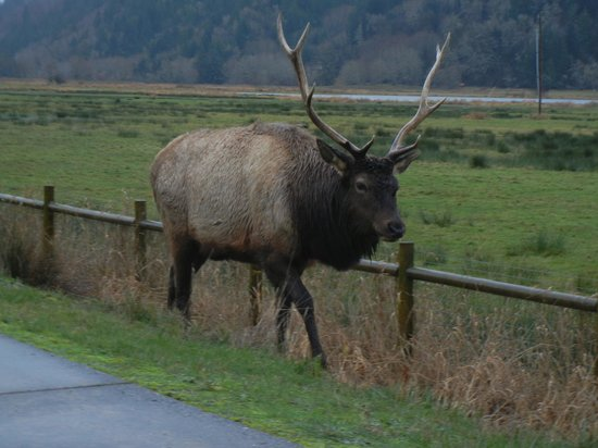 Dean Creek Elk Viewing Area: Dean Creek Elk alongside road