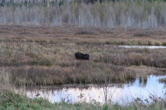 Northern Pride Lodge & Campground: Moose at sunset