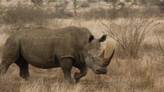 Nationaal Park Kruger, Zuid-Afrika: Rhino