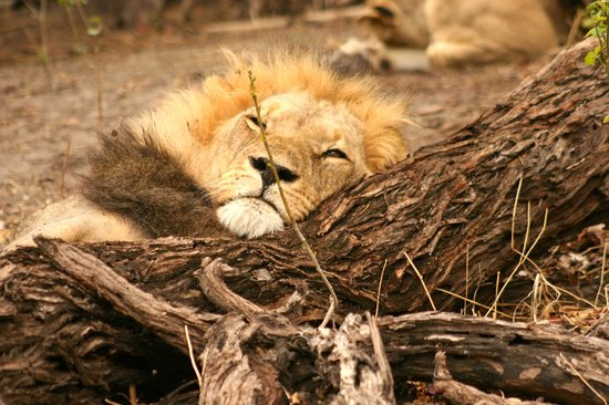 Wilderness Safaris DumaTau Camp: Lion pride found by channel