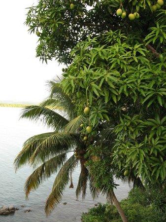 Hostel Bahia Del Paraiso: Lots of Papayas outside (I think)