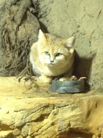 Chattanooga Zoo: Sand cat