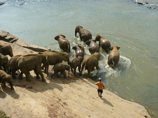 Pinnawala Elephant Orphanage: Entering river
