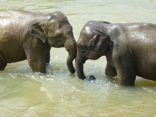 Pinnawala Elephant Orphanage: Good friends