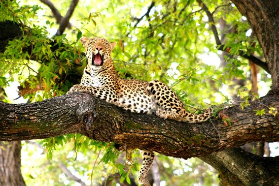 Wilderness Safaris Vumbura Plains Camp: Leopard on our drive from the airstrip