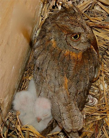 Kondor Eco Lodge: SCOPS OWL
