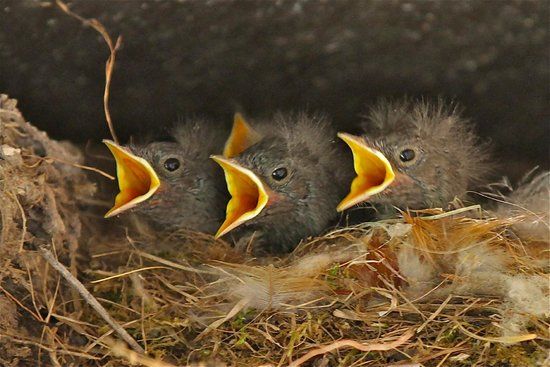 Bacs-Kiskun County, Ungarn: COMMON REDSTART CHIKS IN THE NEST AT OUR KONDOR ECOLODGE