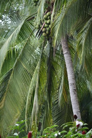 Costa Paraiso: Coconut tree!