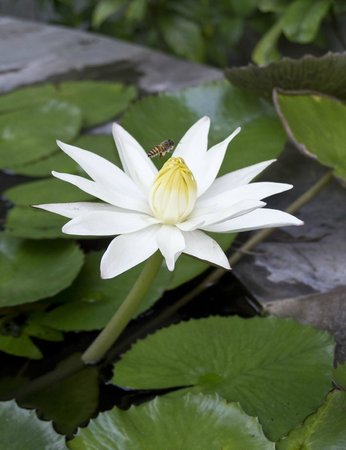 Villa Markisa Dive Resort: Water-Lily @ Villa Markisa