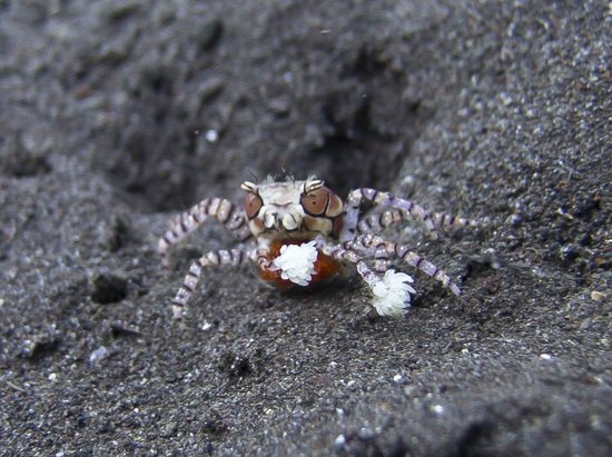 Villa Markisa Dive Resort: Boxer Crab or Lybia tessellata