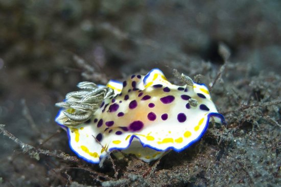 Villa Markisa Dive Resort: Chromodoris sp19