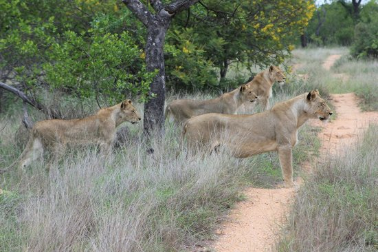 Pondoro Game Lodge: Löwen bei der Jagd