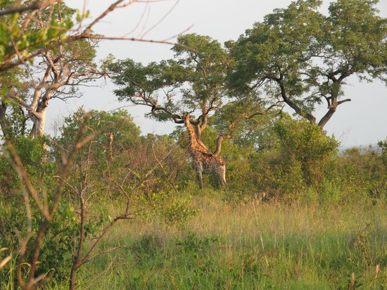 Sabi Sabi Little Bush Camp: first giraffe sighting