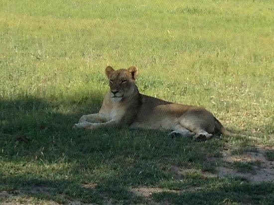 Sabi Sabi Little Bush Camp: lioness sunning