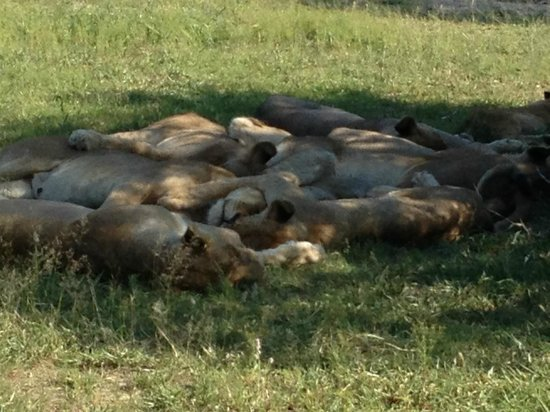 Sabi Sabi Little Bush Camp: lions sleeping