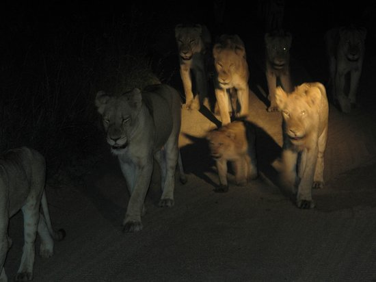 Sabi Sabi Little Bush Camp: following pride at night
