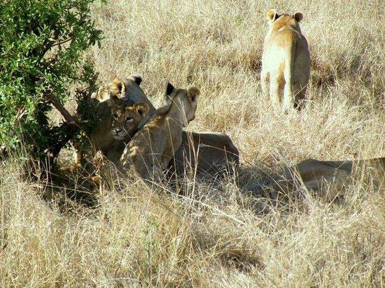 Fig Tree Camp: famiglia di leoni con cuccioli