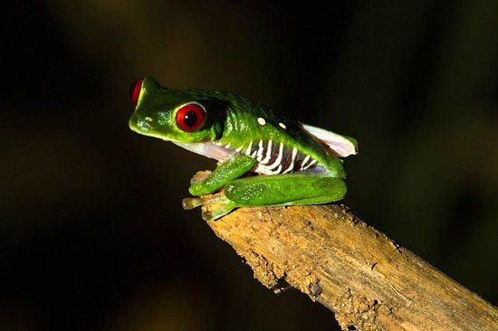 Jinetes de Osa Hotel: Red eyed frog in hotel property