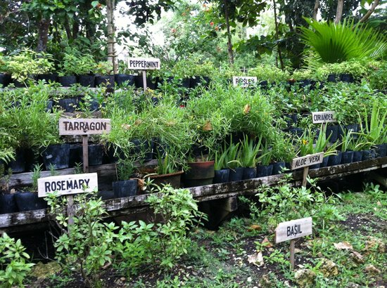 Bohol Bee Farm: Fresh herbs