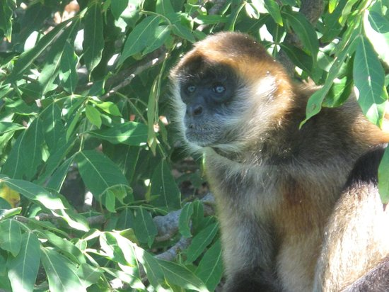 Occidental Papagayo - Adults only: Monkey in tree in Nicaragua