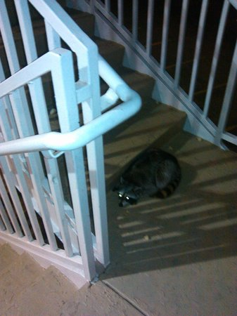 Westchase Extended Stay Hotel : racoon that was getting fed by patron at the very end of the hallway to the left of 333