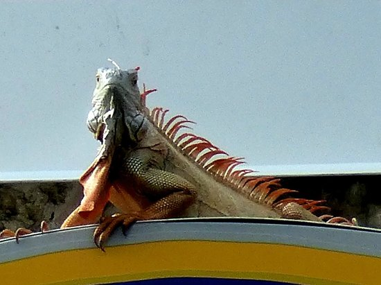 Ramada Fort Lauderdale Oakland Park: Resident iguana