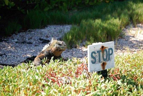 Galapagos Alternative: Marine Iguana - Puerto Ayora