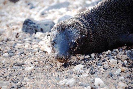Galapagos Alternative: Harbor Seal Pup - Puerto Ayora