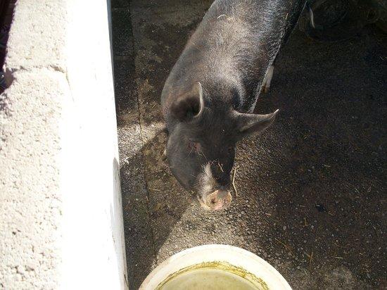 Windmill Hill City Farm: Pig!