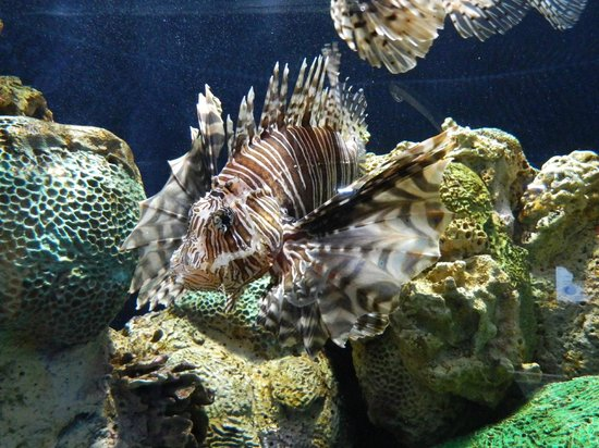 Adventure Aquarium: A Lionfish