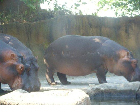 St. Louis Zoo: hippos