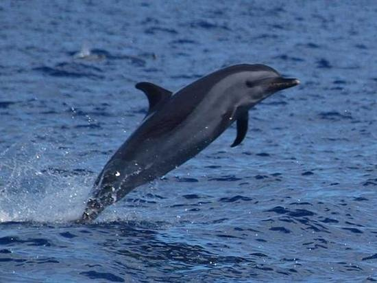 St Helena, Ascension and Tristan da Cunha: St Helena Dolphins