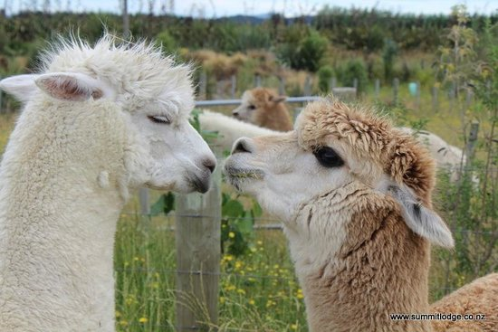 The Summit Lodge : Summit Lodge alpacas