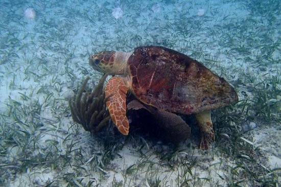 Hatchet Caye Resort: Giant turtle on snorkeling trip