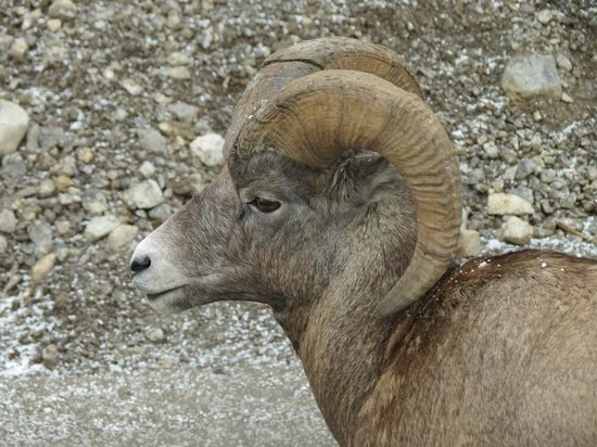 Maligne Lake Tours: Bighorn sheep after the cruise, on way to Maligne Canyon