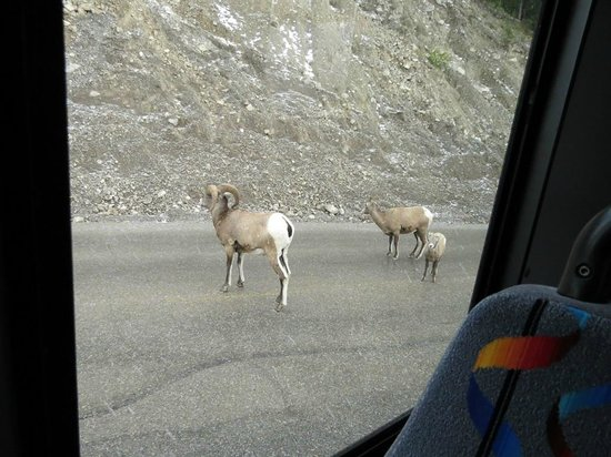 Maligne Lake Cruise: A group of Bighorn sheep spotted on the road