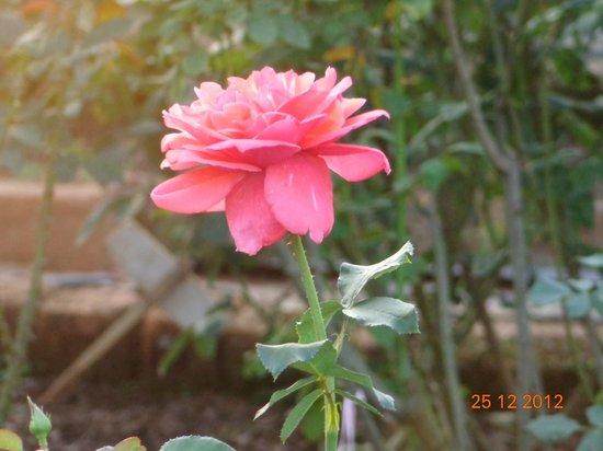 Visawa Resort : Rose from the garden