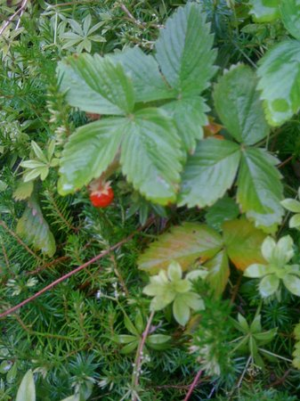 Buckton, UK: Wild food at its sweetest!