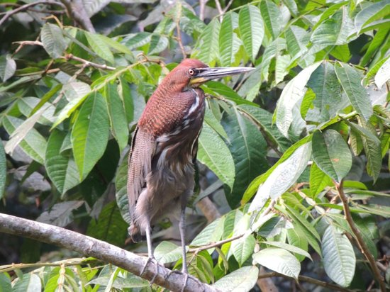 Napo Wildlife Center Ecolodge: Red Heron