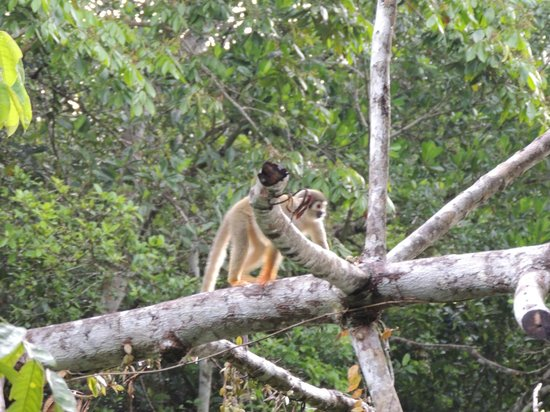 Napo Wildlife Center Ecolodge: Squirrel Monkey