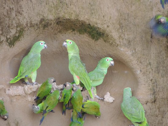 Napo Wildlife Center Ecolodge: Parrot Clay Like
