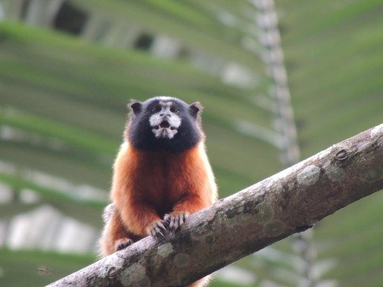 Napo Wildlife Center Ecolodge: Tamarind Monkey