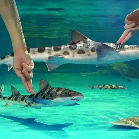 Newport Aquarium: Shark-petting pool