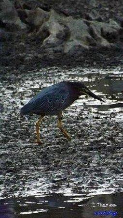 North Chagrin Reservation: Green Heron - North Chagrin