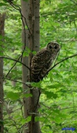 North Chagrin Reservation: Barred Owl - North Chagrin