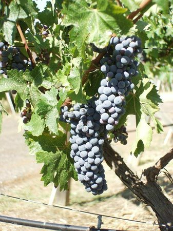 Lenora Winery: Cabernet Sauvignon grapes