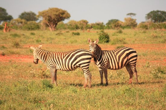 Safari Kenya Watamu - Day Tours: Zebre