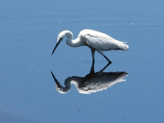 Savute Safari Lodge: egret