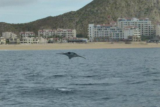 Whale Watch Cabo: Manta Ray breach