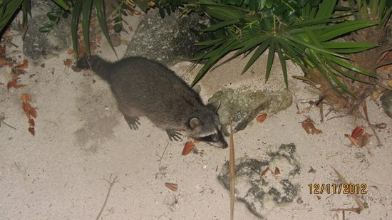 Barcelo Maya Tropical: a friendly raccoon we saw outside the Brazilian restaurant in the 5 star resort!!